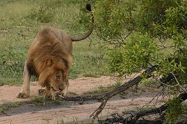 A lion encountered on safari in the Kruger Park.