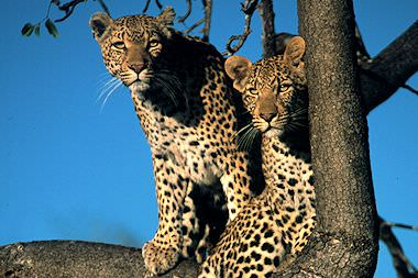 A pair of leopards in a tree.
