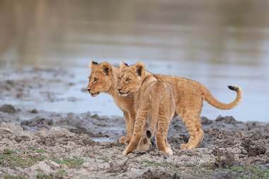A pair of lion cubs next to a waterhole.