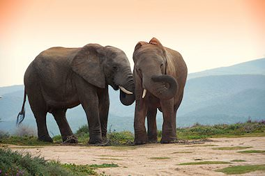 Elephant are amongst the mammals that can be seen on African safari tours