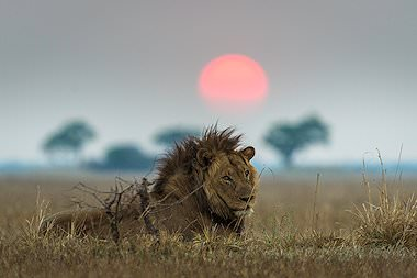 Lion photographed at sunset on safari in Zambia