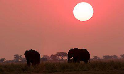 Elephants encountered on a honeymoon safari in the Chobe National Park.