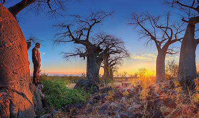 A baobab forest in Botswana's Savute Channel wilderness area.